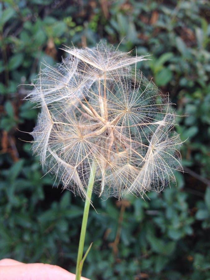 Dandelion zdjęcia stock