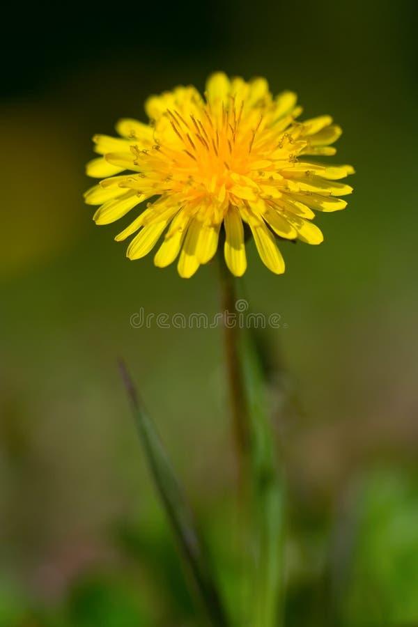 Free Dandelion Royalty Free Stock Image - 797386