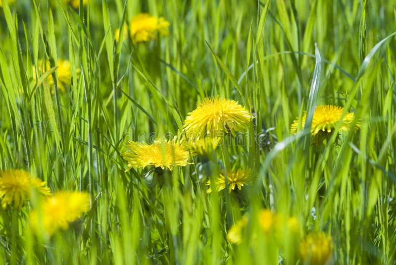 Download Dandelion stock photo. Image of dandelion, blossom, green - 8037710