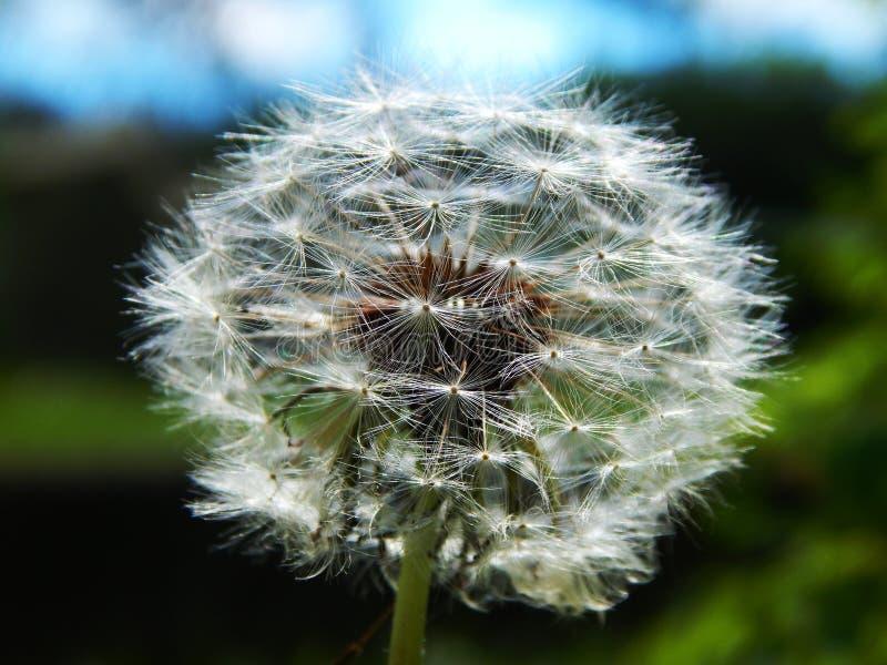 Dandelion Free Public Domain Cc0 Image
