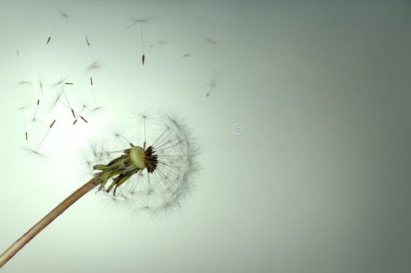 Download Dandelion stock image. Image of wind, blowball, spring - 9360891