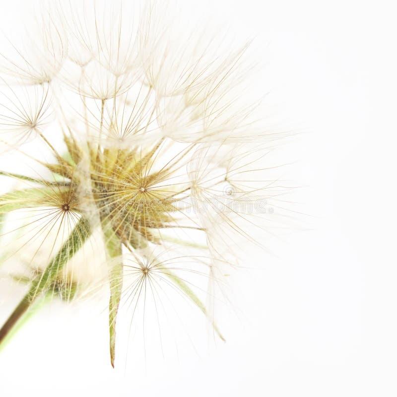 Download Dandelion stock image. Image of flimsy, offspring, design - 9721871