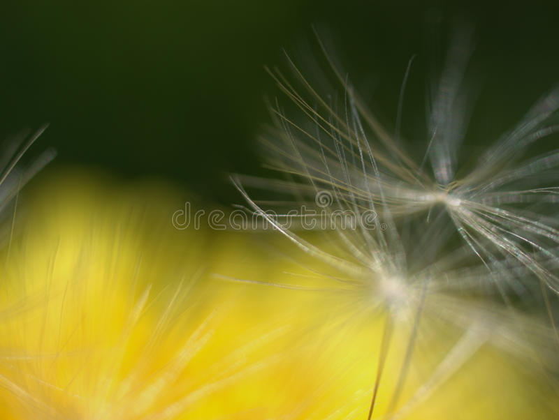 Download Dandelion stock image. Image of macro, nature, flower - 9735759