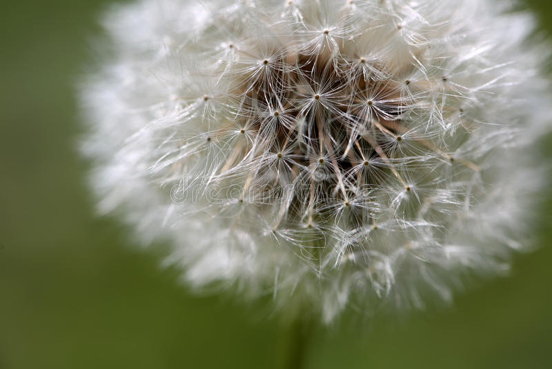 Dandelion abstract closeup, tranquil art scene royalty free stock photo