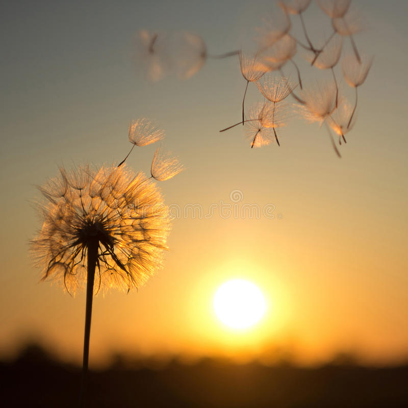 Dandelion against the backdrop of the setting sun stock photo