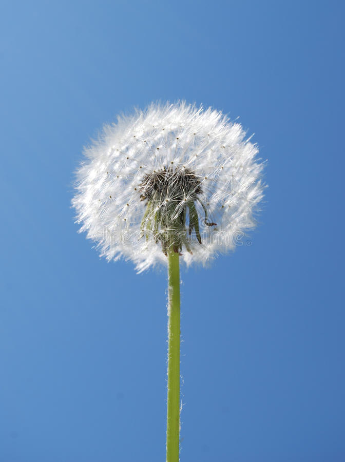 Dandelion against the sky royalty free stock photography