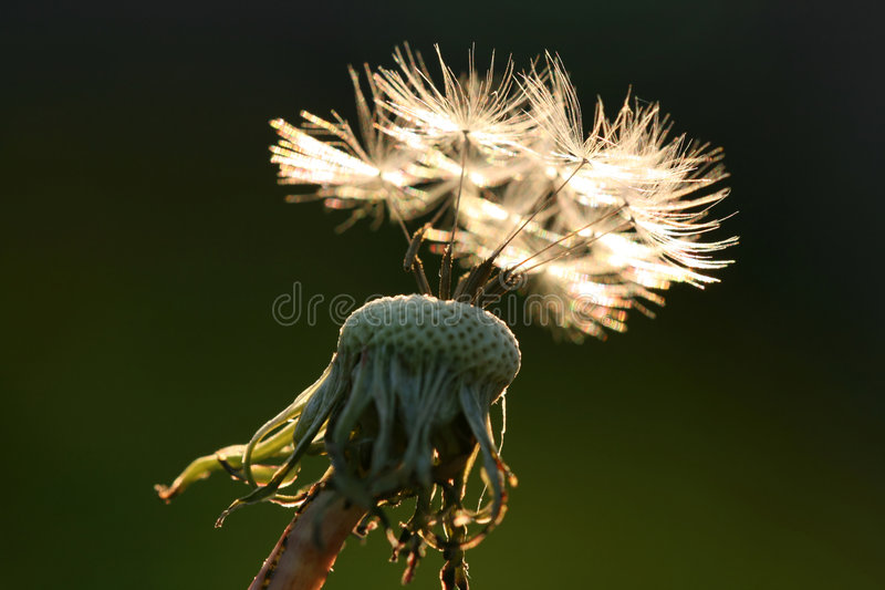 Dandelion against sunset royalty free stock images