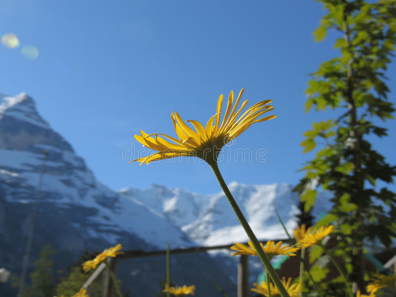 Dandelion in Alps royalty free stock photography