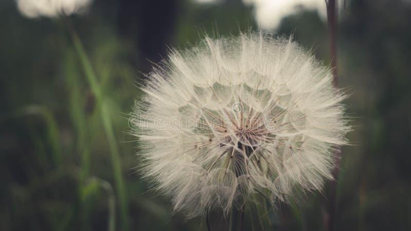dandelion ampuła zdjęcia stock