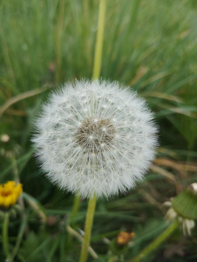 Dandelion in autum. White, nature, grass royalty free stock photography