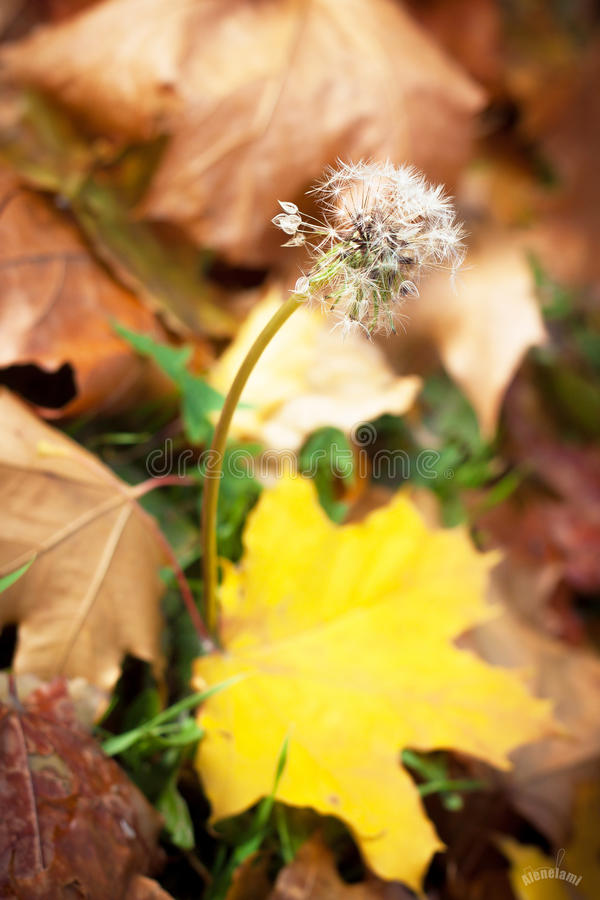 Dandelion in autumn stock photo
