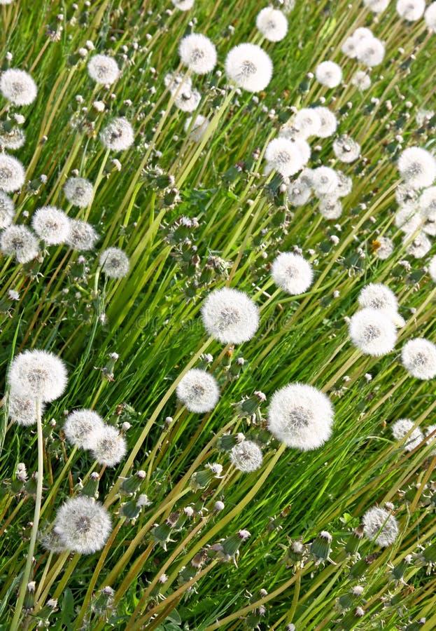 Free Dandelion Background Stock Images - 18640304