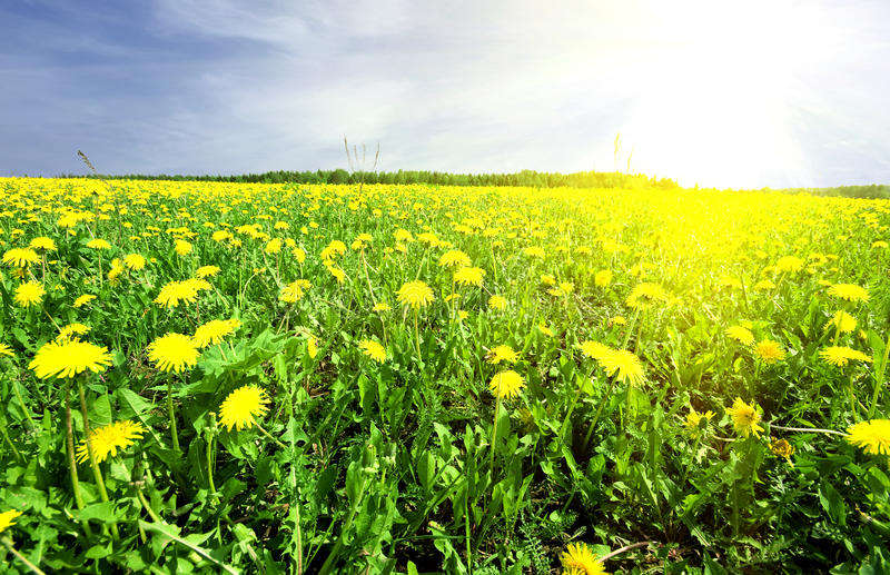 Download Dandelion On Background Distant Stock Photo - Image of paradise, blue: 14556310