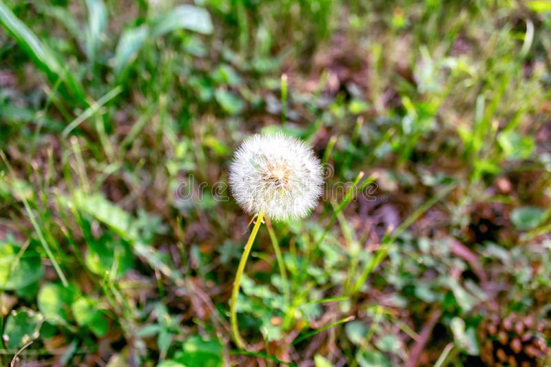 Dandelion on background of green grass royalty free stock photography