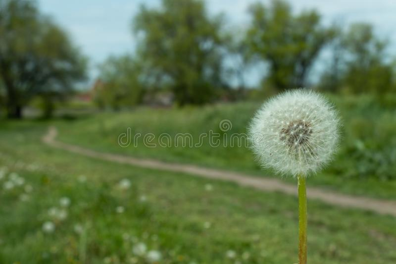 Dandelion on the background of a lawn of wildflowers, paths and trees.  royalty free stock images