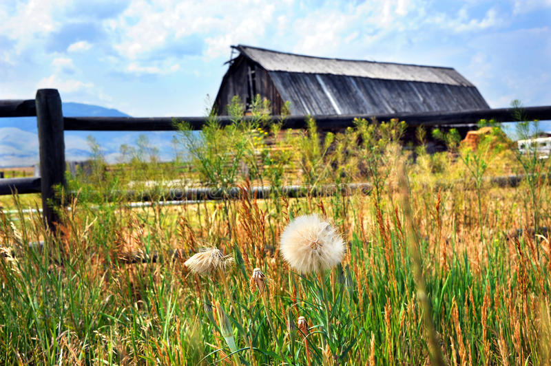 Dandelion and Barn. Dandelion grows in front of a rustic wooden fence that fronts a rustic wooden barn. All form a landscape image of Happy Valley, Montana royalty free stock image
