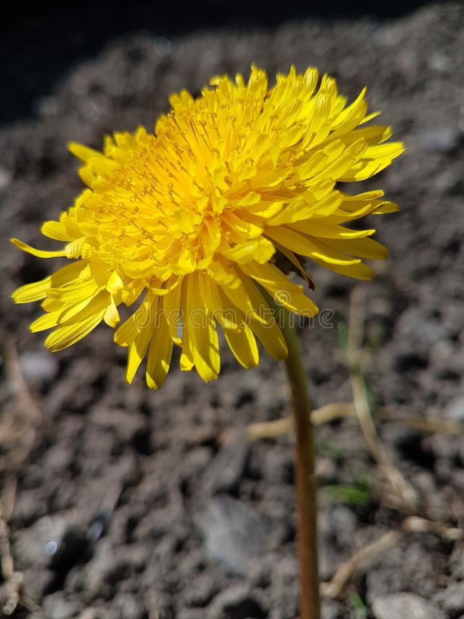Dandelion. Beautiful yellow dandelion a natural click in a beautiful summer day stock photo