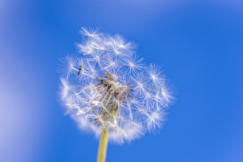 Dandelion. Beautifull dandelion ball and its seeds blowing away stock images