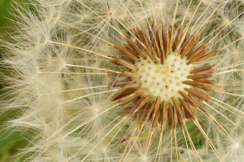 Dandelion bez ziaren w kierowym kształcie zdjęcia stock