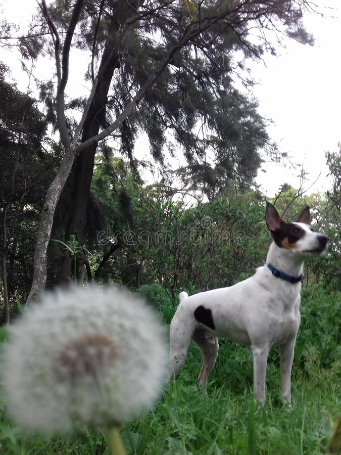 Dandelion bielu psa natura obraz royalty free