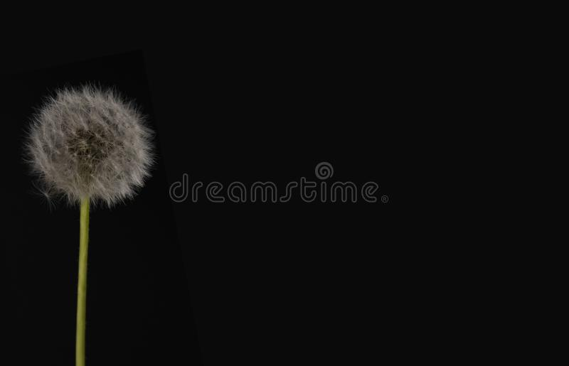 Dandelion on a black background. Dandelion in a frame on the left side, there is a place for text stock photo