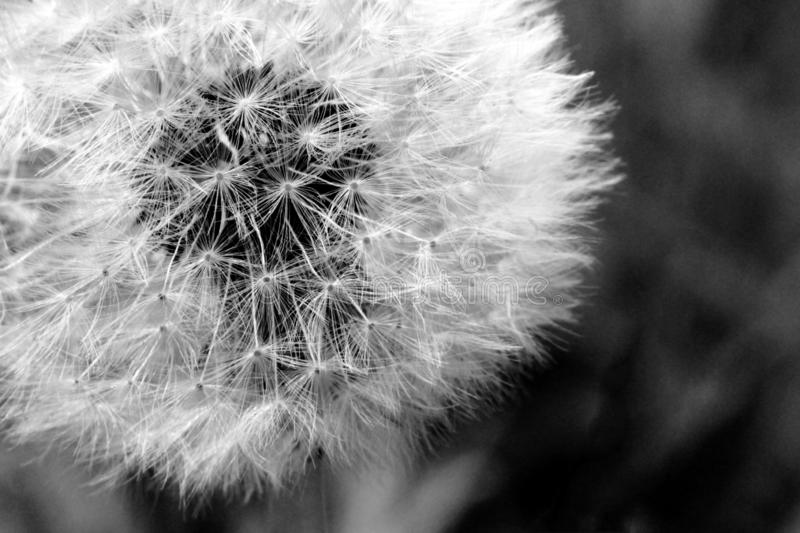 Dandelion Black and White. Close up of a dandelion flower in black and white stock photos