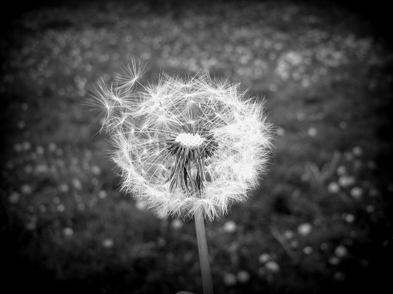 Dandelion black and white royalty free stock photos