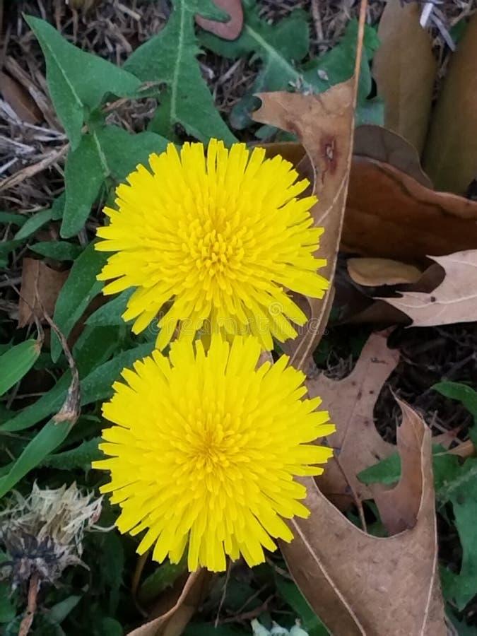 Dandelion bliźniacy fotografia stock