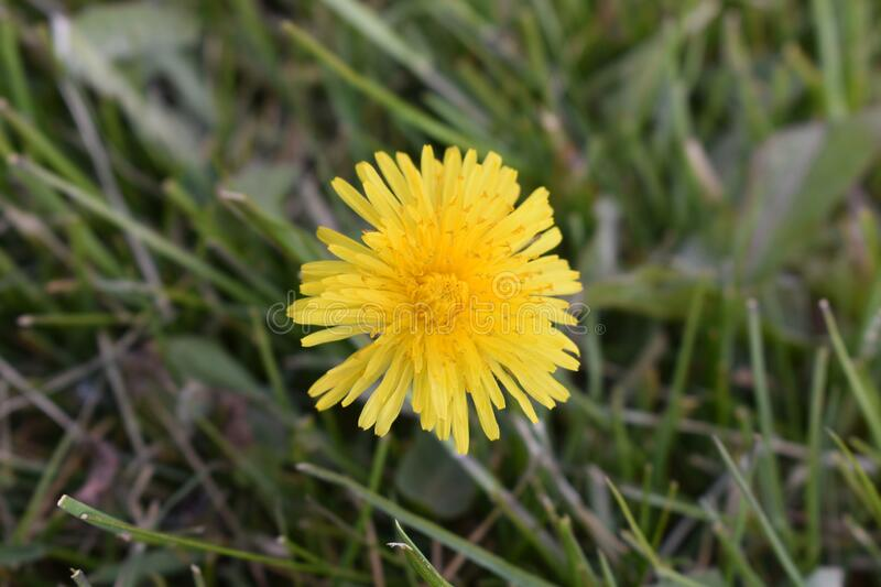 A dandelion bloom royalty free stock images