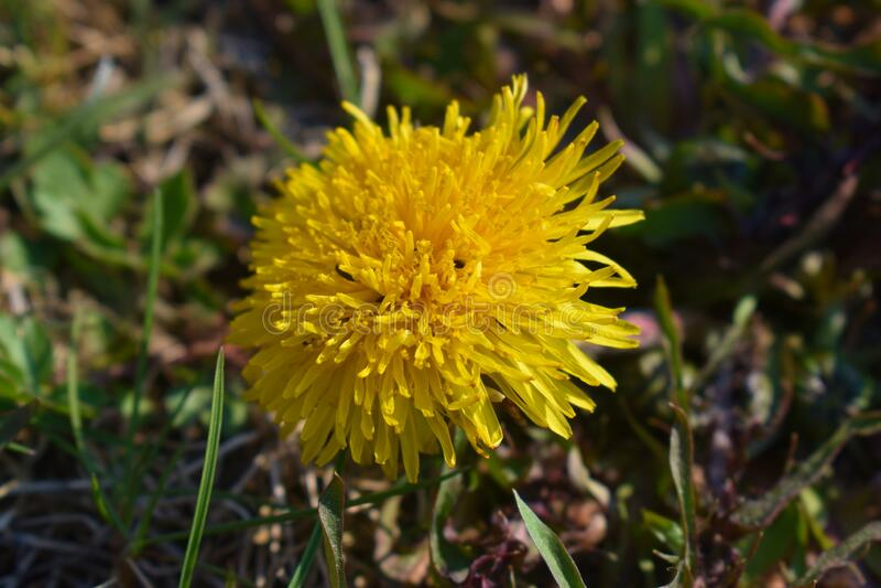 A dandelion bloom stock images