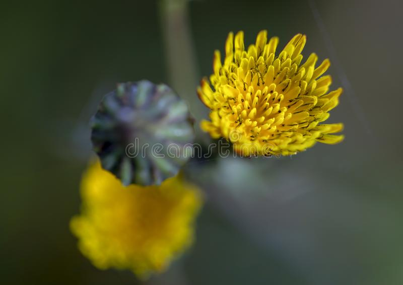 Dandelion blooming flower and a bud from the top royalty free stock images