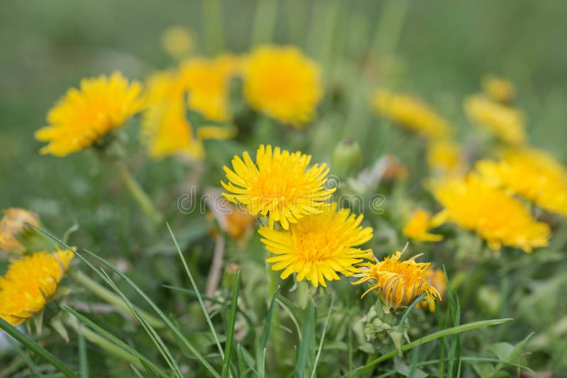 A dandelion blooming on a meadow. Spring day. A meadow covered with green grass, among the grasses there are numerous yellow flowers of a dandelion stock photography