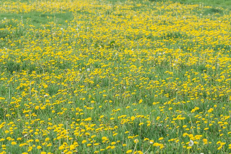 A dandelion blooming on a meadow. Spring day. A meadow covered with green grass, among the grasses there are numerous yellow flowers of a dandelion royalty free stock photo