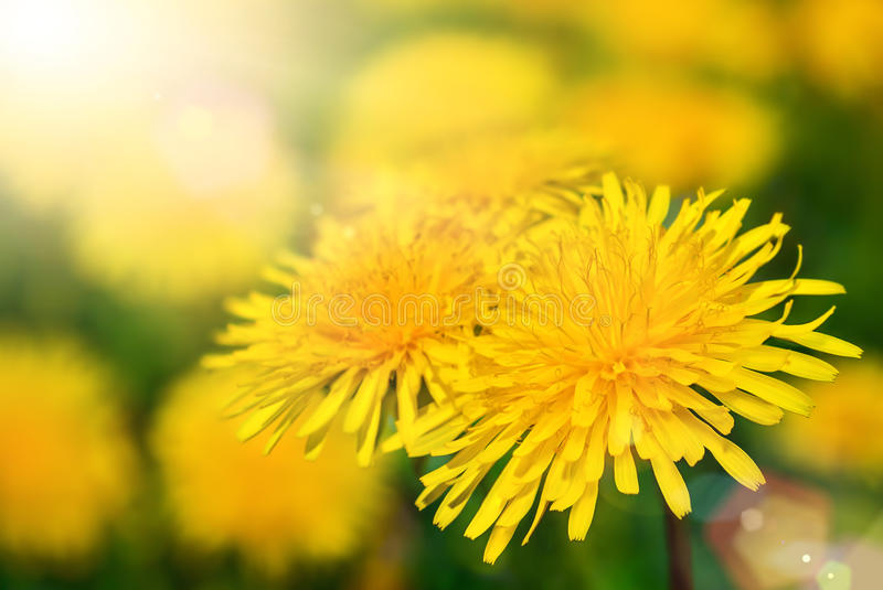 Dandelion blossoms in warm sunlight. Dandelion blossoms with shallow focus being flooded with warm sunlight royalty free stock image