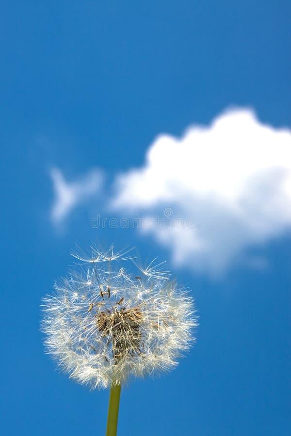 Free Dandelion Blowball Royalty Free Stock Image - 5181896