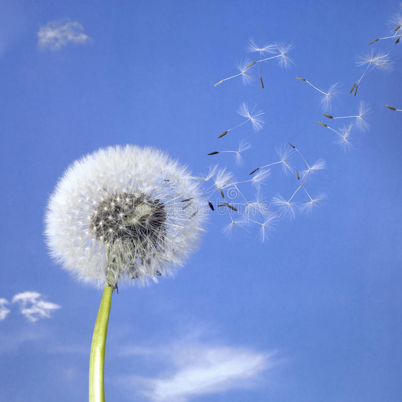 Free Dandelion Blowball And Flying Seeds Stock Image - 21448531