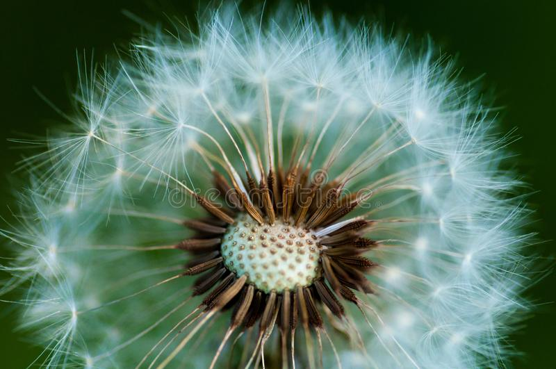 Dandelion or Blowball. Macro photography. stock photography