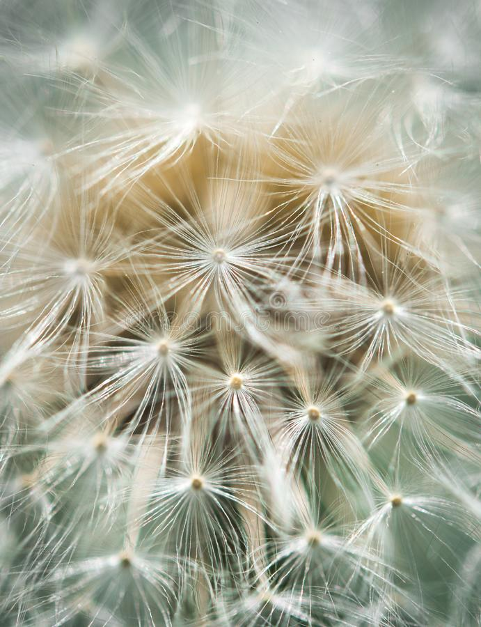 Dandelion blowball close-up in soft colors stock photos