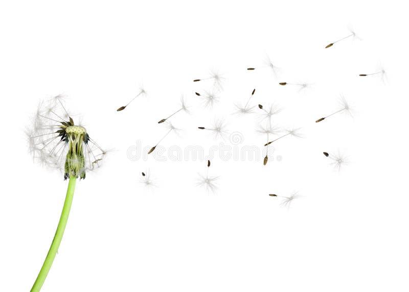 Dandelion blowball stock photos