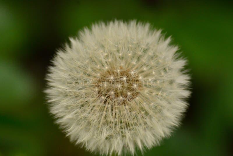 Dandelion blowball lata zbliżenie błyszczący zdjęcie royalty free