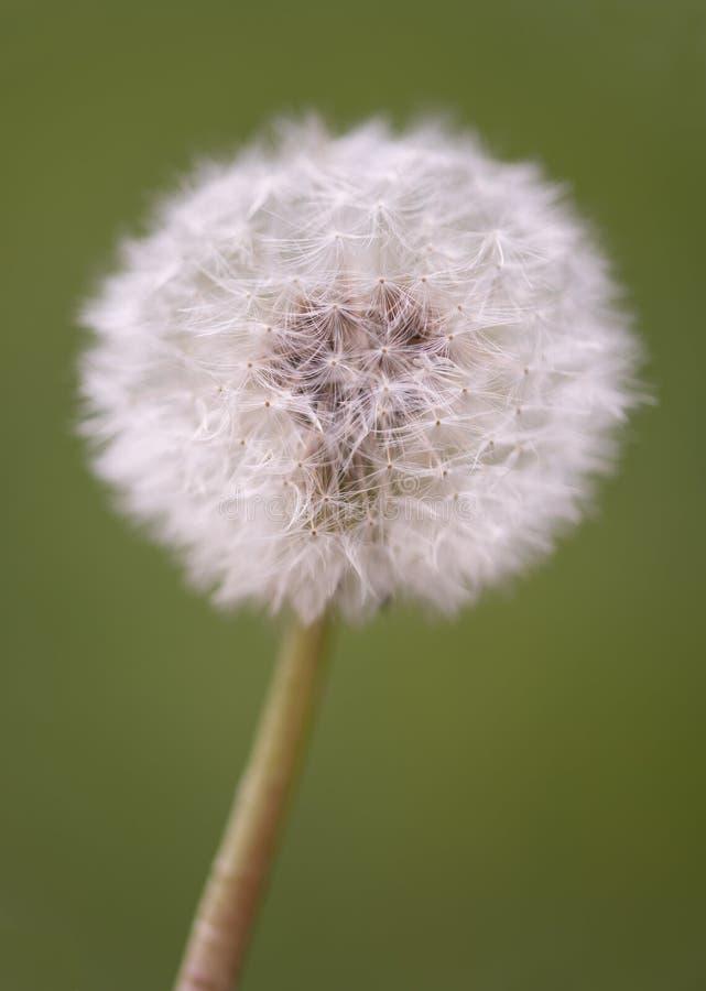 Dandelion blowball zdjęcia stock
