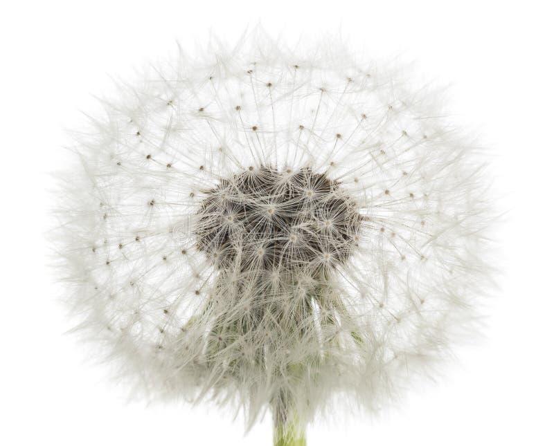 Dandelion blowball zdjęcia royalty free