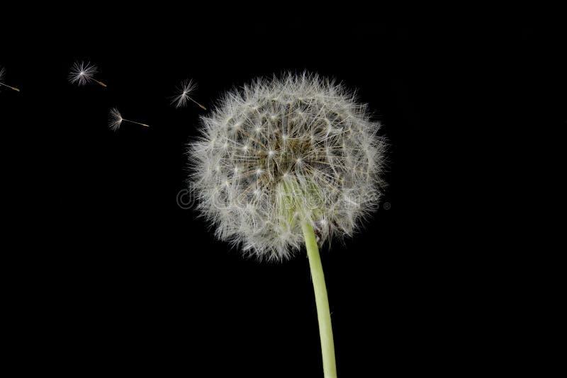 Dandelion Blowing stock images