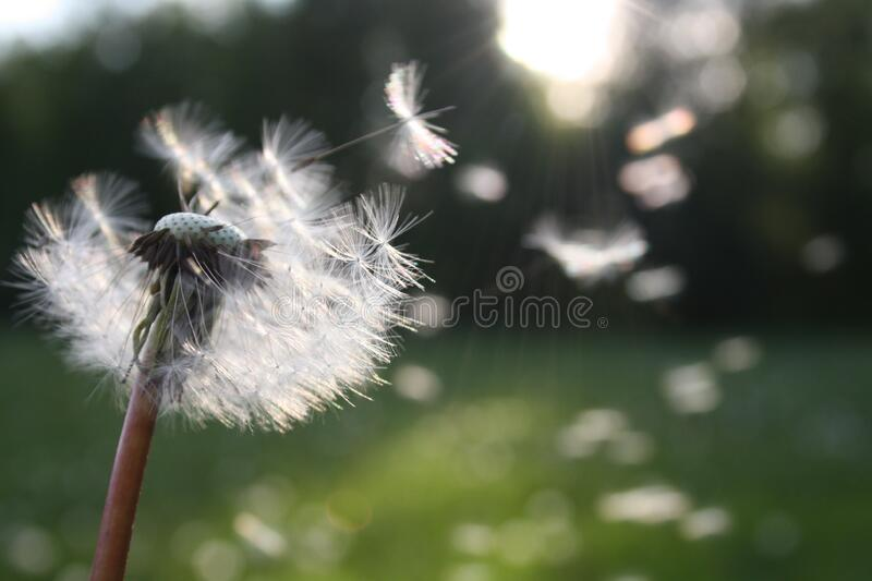 Dandelion Blowing In Wind Free Public Domain Cc0 Image