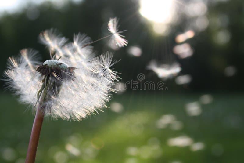 Dandelion blowing in wind stock image