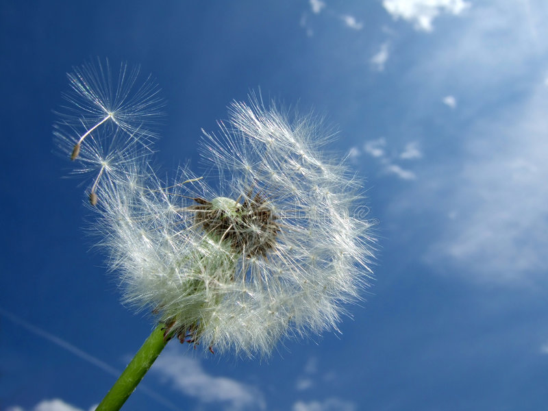 Download Dandelion, blue sky stock photo. Image of nature, withered - 2454296