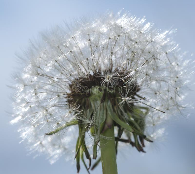 Dandelions Blowing Seeds Wind Stock Images