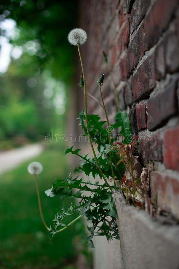 Dandelion on a brick wall royalty free stock images