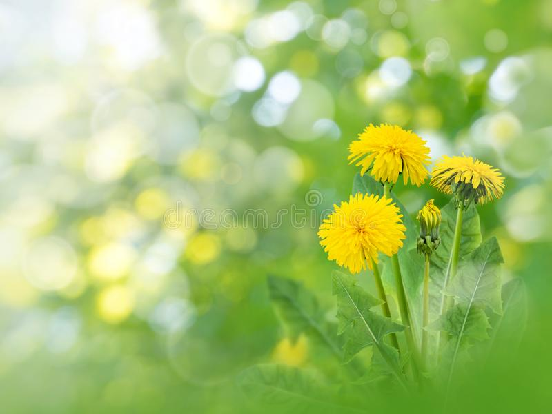 Dandelion bright flowers spring background stock photo
