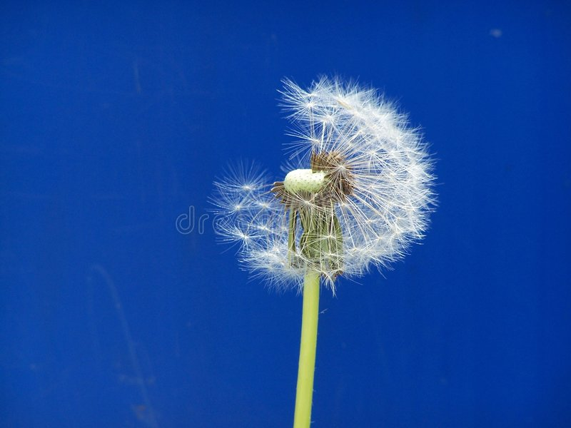 Dandelion captured in time royalty free stock image